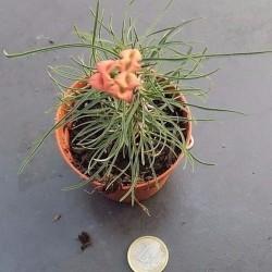 Euphorbia Gottlebai