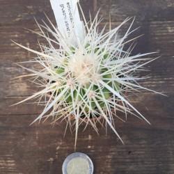 Echinocactus Grusonii albispina