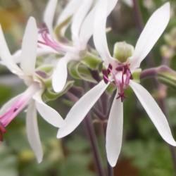Pelargonium polycaphalum