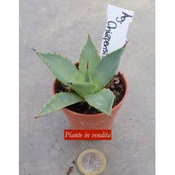 Agave Chiapensis  ISI 1243