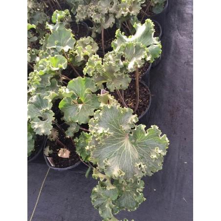 Fafugium japonica cristata