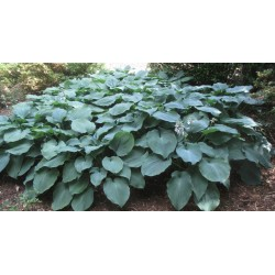 Hosta Tardiana North Atlantic