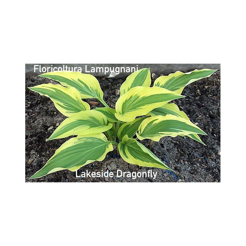 Hosta Lakeside Dragonfly  vaso 12x12