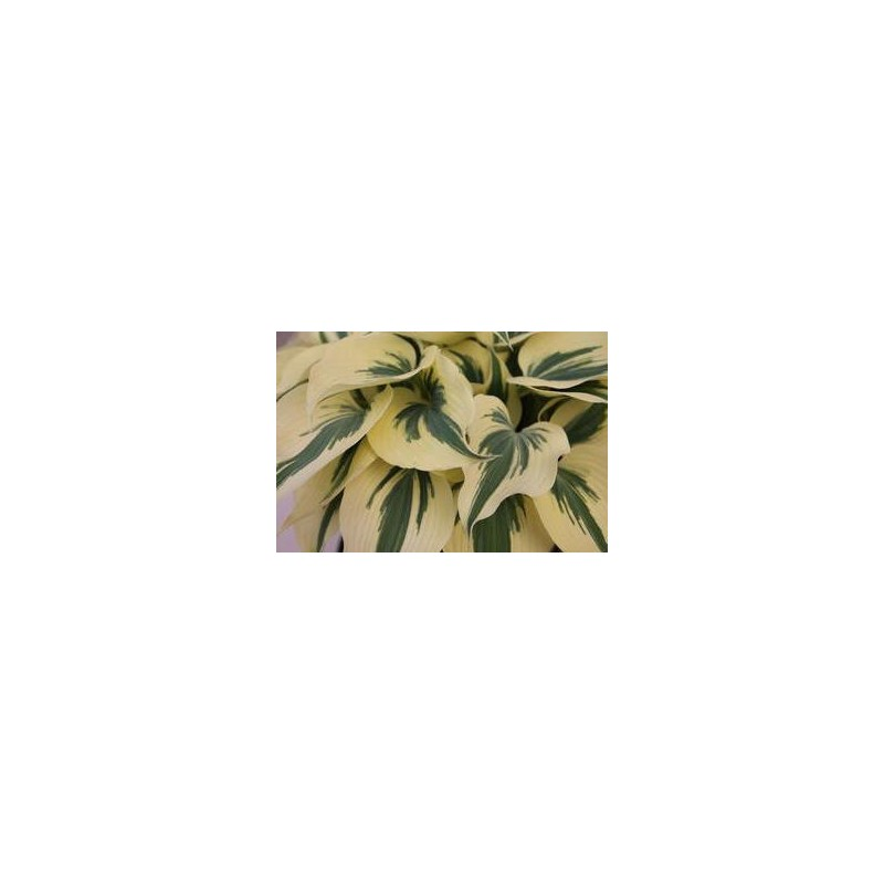 Hosta Light Blue