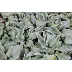 Hosta Gemstone      vaso 12x12