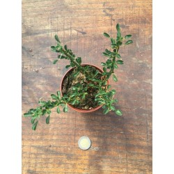 Sarcocaulon (Monsonia)cm. 12/13 pelargonium
