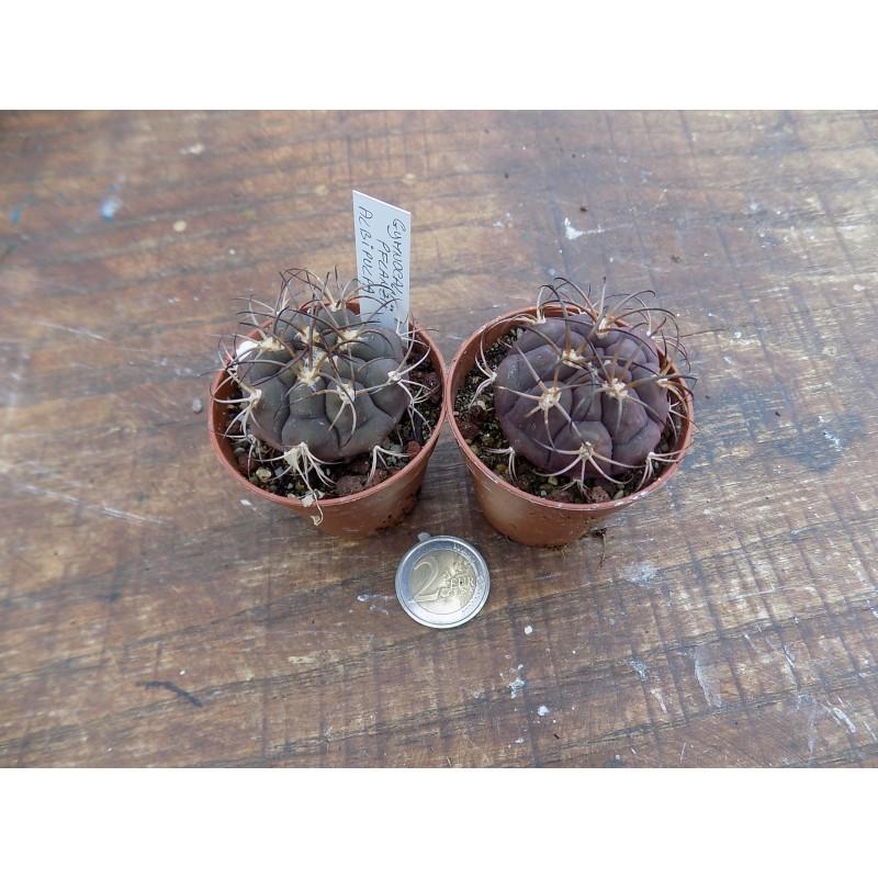 Gymnocalycium Pflanzii albipulpa