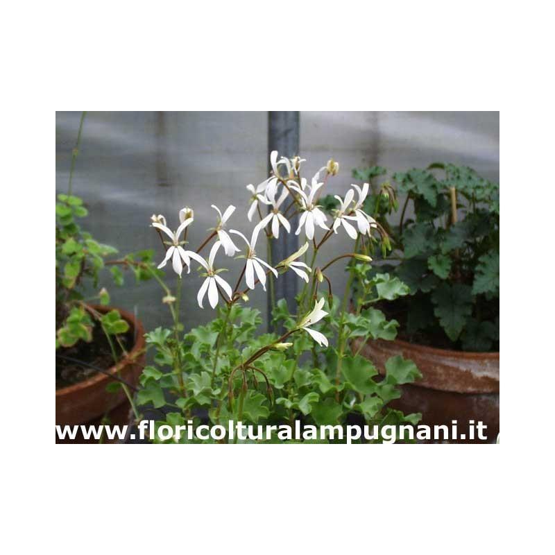 Pelargonium Acetosum bianco (succulento)
