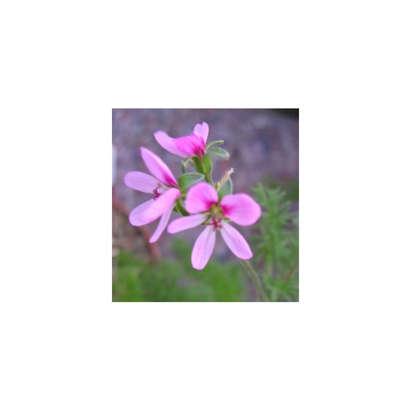 Pelargonium Hirtum (Succulento)