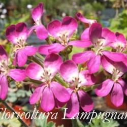 elargonium Gibbosum rosa (Succulento