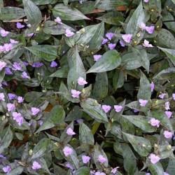 Tinantia pringlei (Tradescantia)