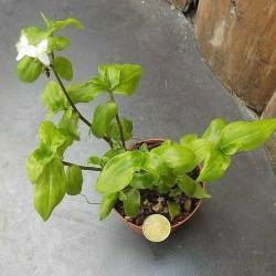 Tradescantia Fulminensis rosea (erba miseria)
