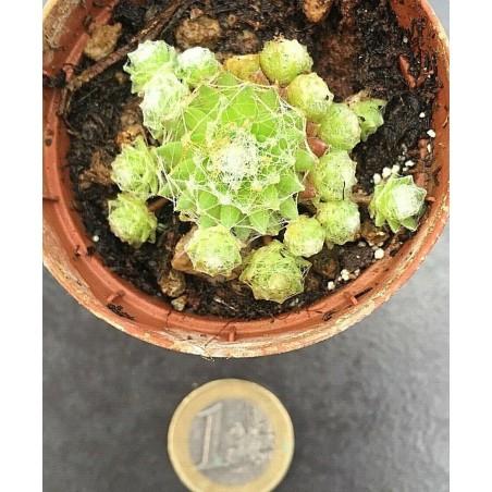 Sempervivum Arachnoideum Bryoides vaso/pot