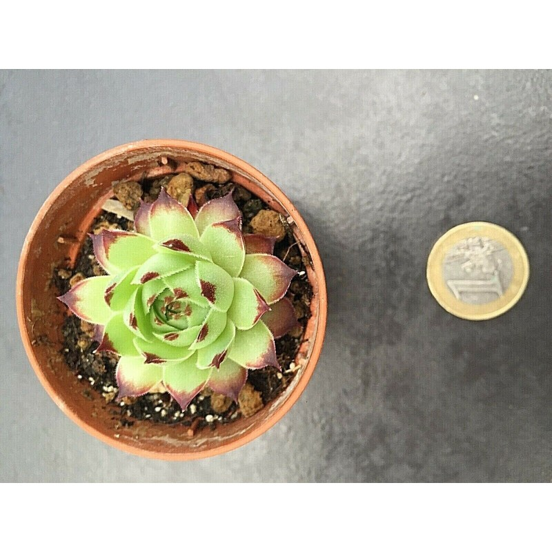 Sempervivum Calcareum Guillaume