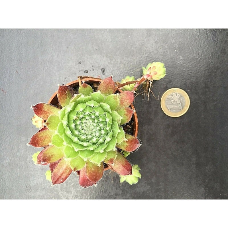 Sempervivum Hey Hey