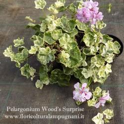 Pelargonium Wood Surprise
