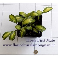 Hosta First Mate