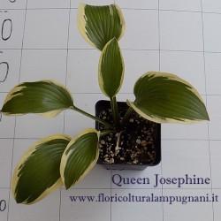 Host Queen Josephine (piante in vaso)