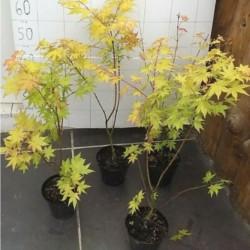 Acer Palmatum Auric