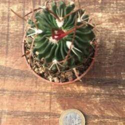 Echinofossulocactus Lamellosus Hastatus