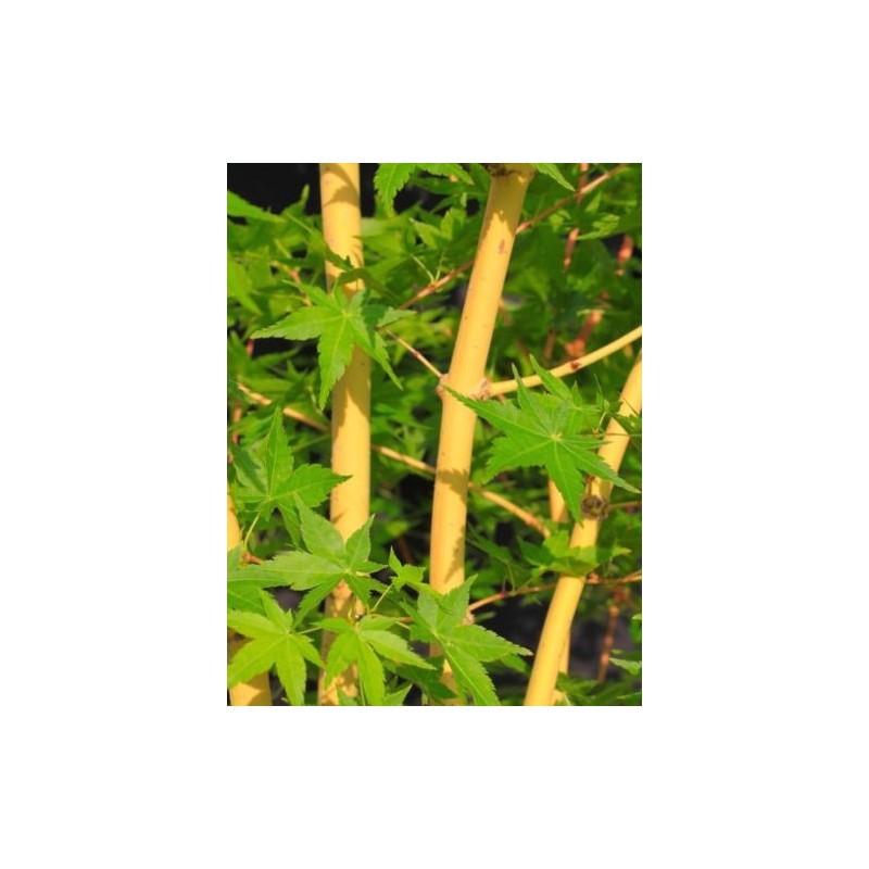 Acer Palmatum Bi Hoo