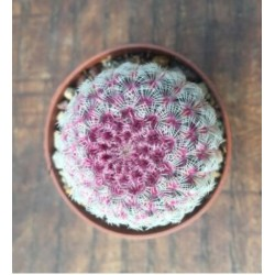 Echinocereus rubispinus l. 088