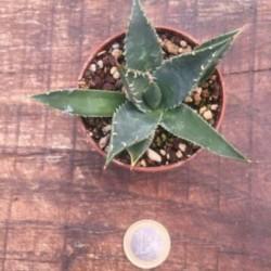 Agave Utahensis Erborispina kingstone