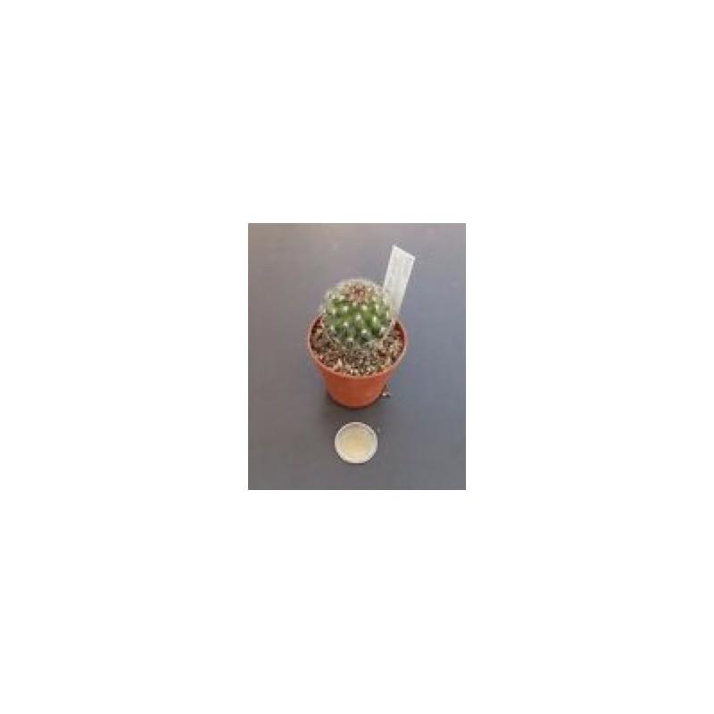 Mammillaria compacticaulis rep. 1047