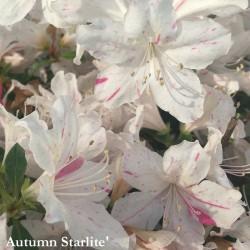 Azalea Encore (r) Autumn Starlite'