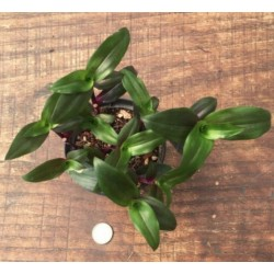 Tradescantia scimitaus purple