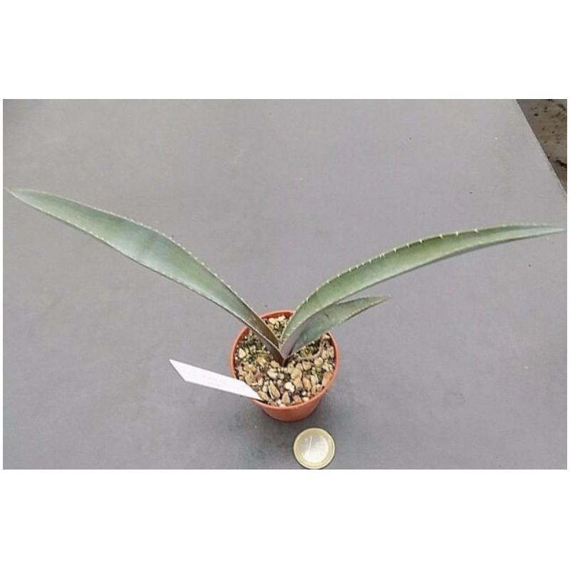 Agave rhodacantha dwarf