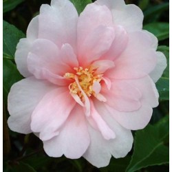 Camelia sasanqua Jean May
