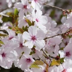 Prunus The bride