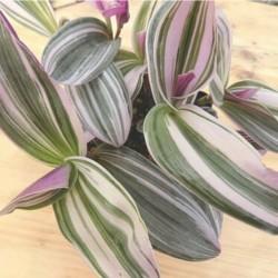 Tradescantia fulminensis striata lilac