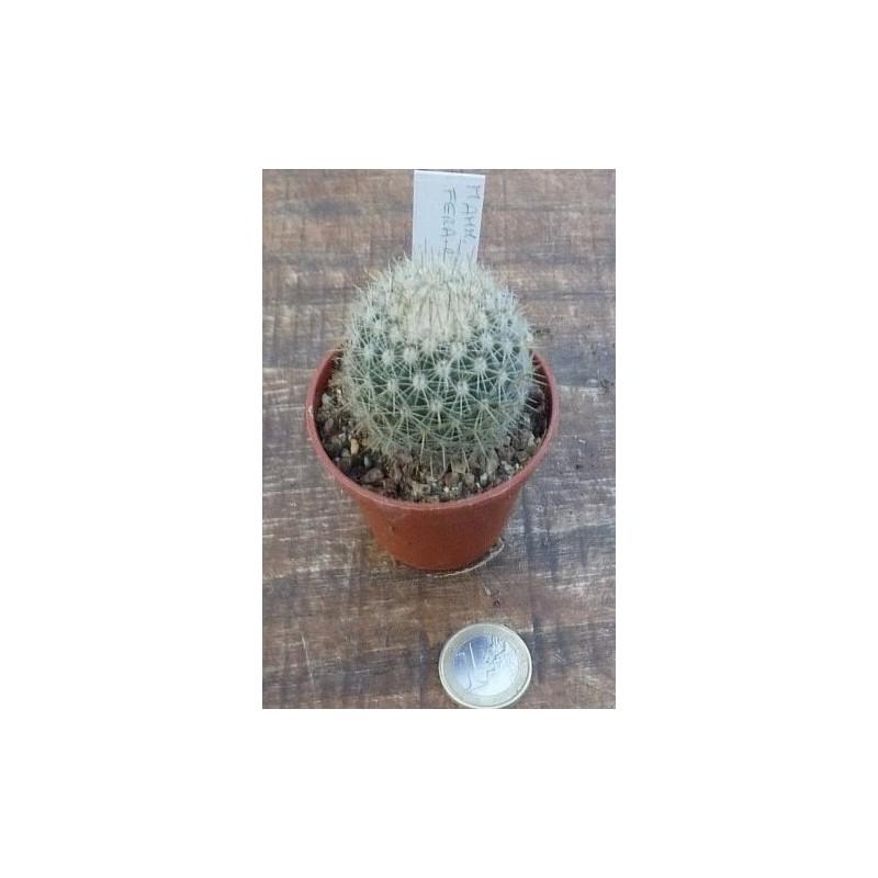 Mammillaria Fera rubra