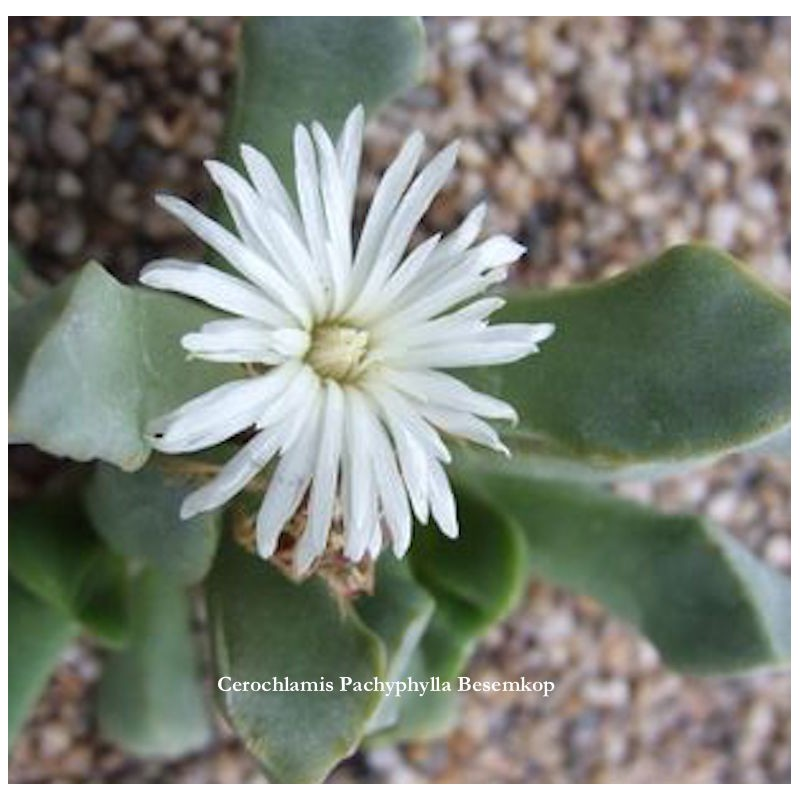 Cerochlamys-Pachyphylla-albiflora-Besemkop-resistenza-1°