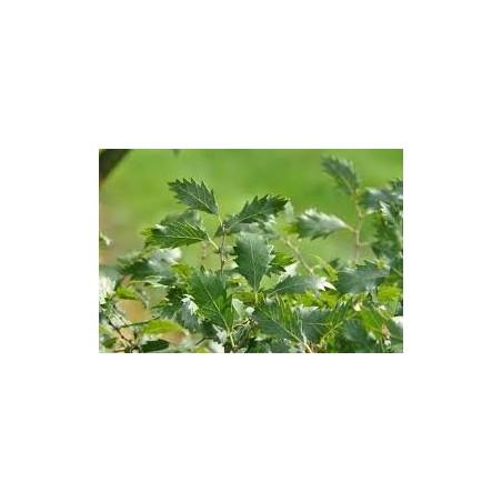 Zelkova Carpinifolia
