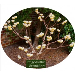 "Edgeworthia chrysantha ""Grandiflora"""