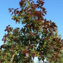 Quercus-Rysophylla-Marco-vaso 9x9