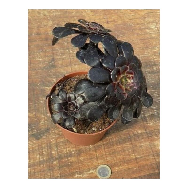 Aeonium arboreum 'Zwartkop'