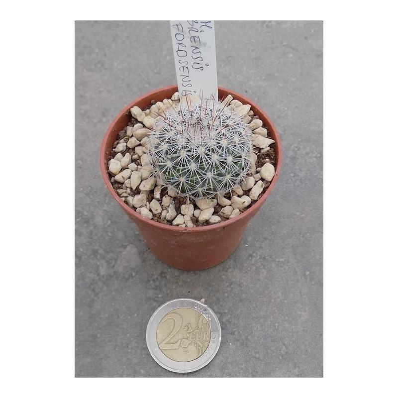 Mammillaria sinforosensis subs. cobrensis TL 495