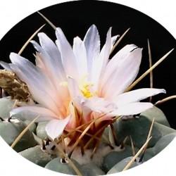 Thelocactus Rinconensis fa.