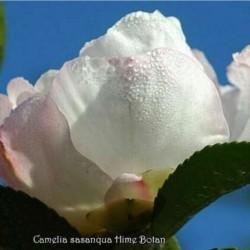 Camellia Sasanqua Hime Botan
