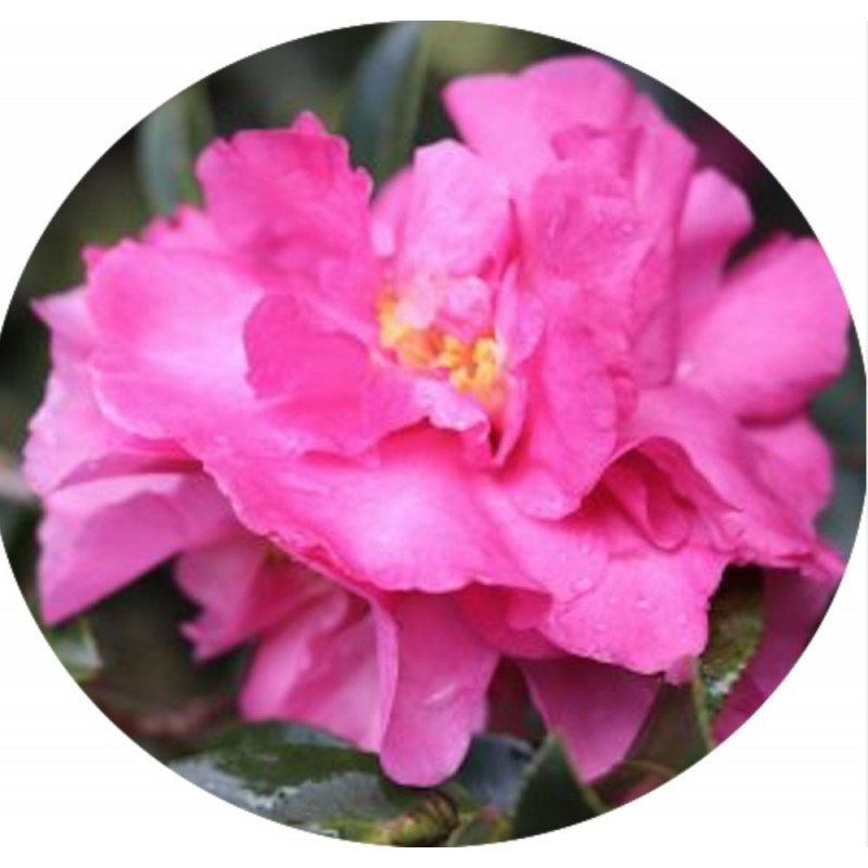 Camellia Sasanqua Jennifer susan