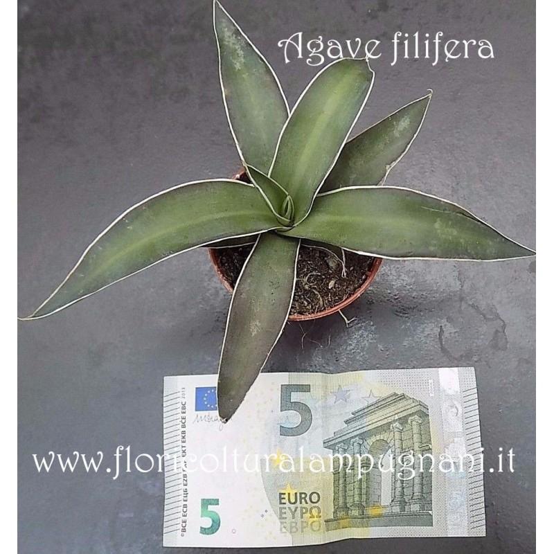 Agve filifera cm.15