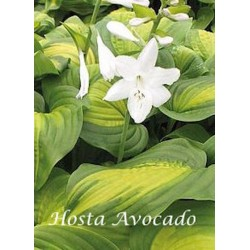 Hosta Avocado