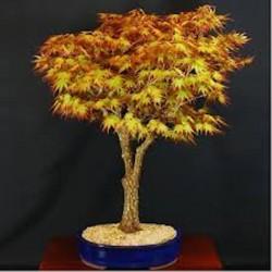 Acer palmatum Arakawa