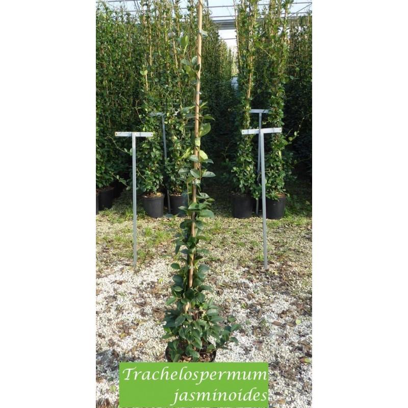 Trachelospermum Jasminoides cm.160/180