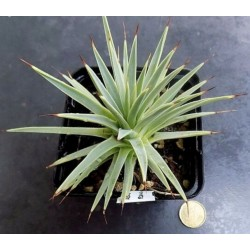 Agave stricta echinoides