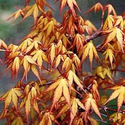 Acer palmatum Sode Nishiki